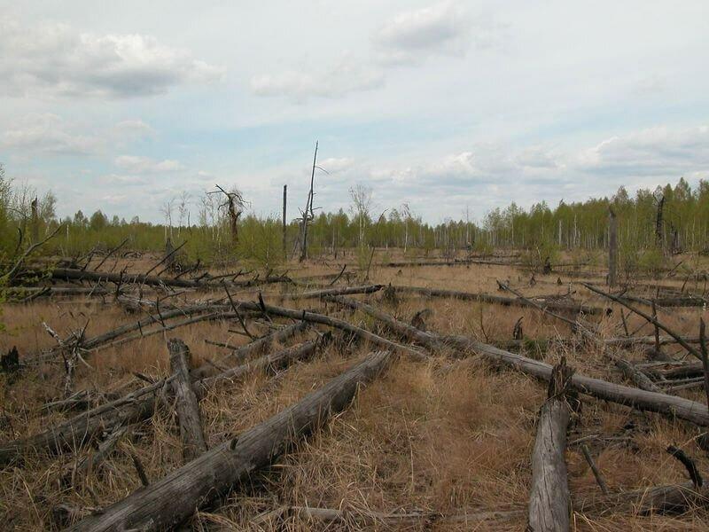 Рыжий лес в Чернобыле сейчас