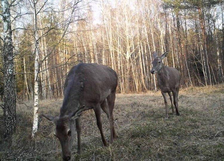 Животные в Чернобыле фото