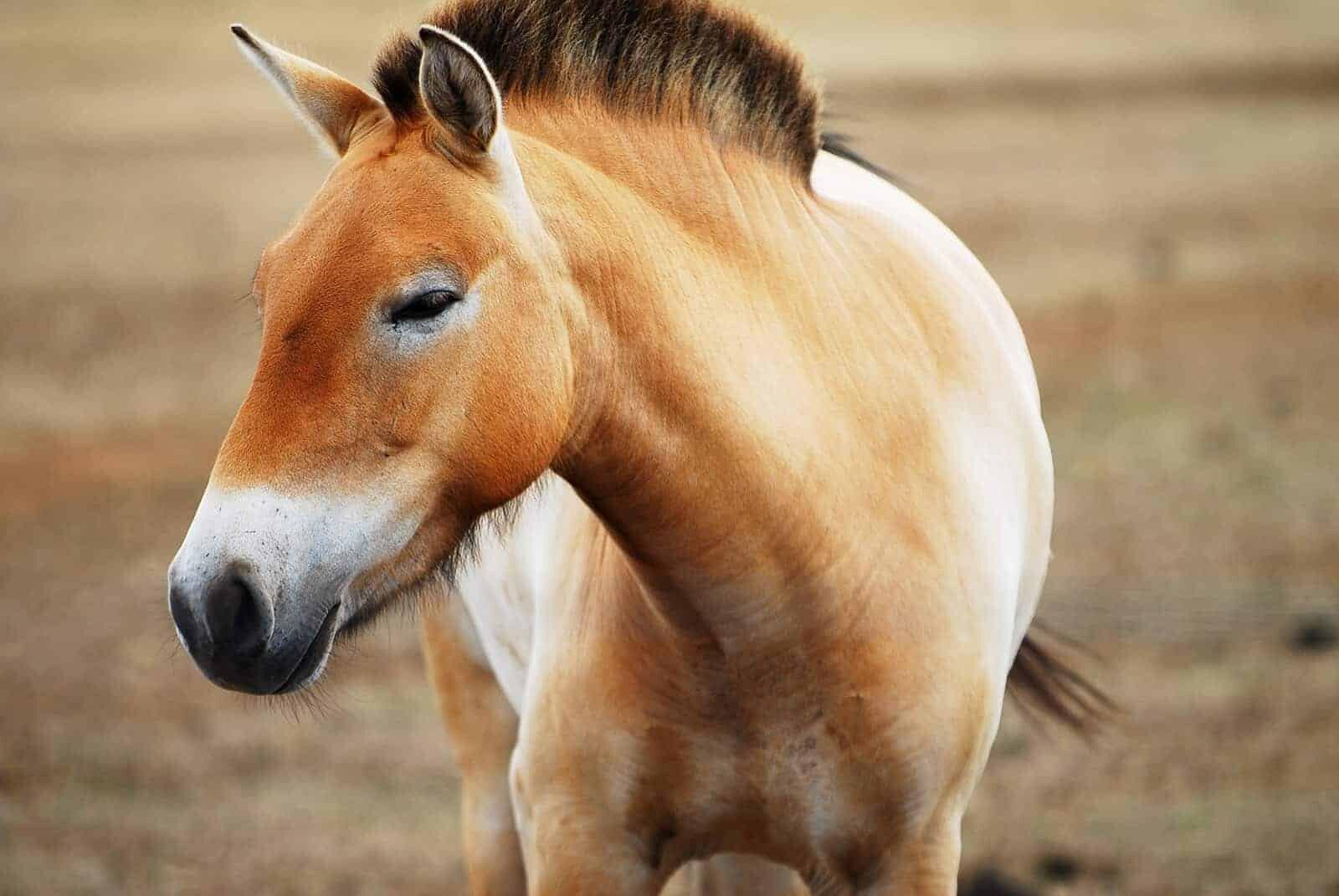 Лошадь Пржевальского фото